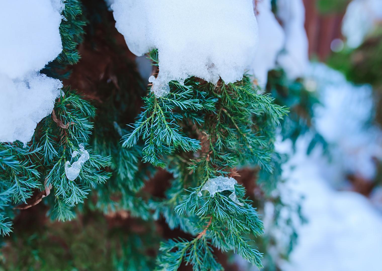 Garten im Winter: Hecke mit Schnee bedeckt