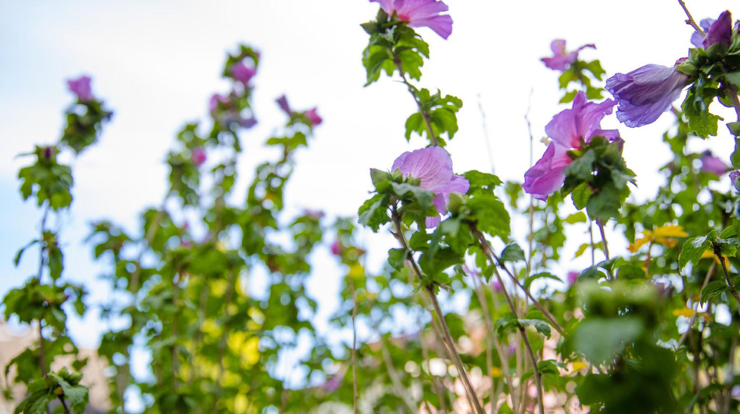 Garten im Frühling: Grüner Pflanzenstrauch mit vielen lila Blüten vor hellem Hintergrund