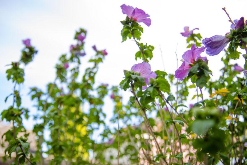 Grüner Pflanzenstrauch mit vielen lila Blüten vor hellem Hintergrund