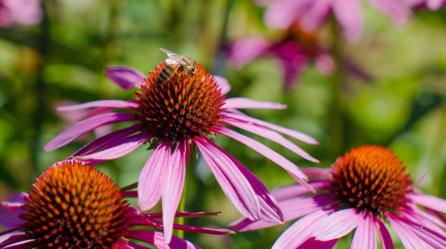 Biene auf einer rosa-roten Blüte